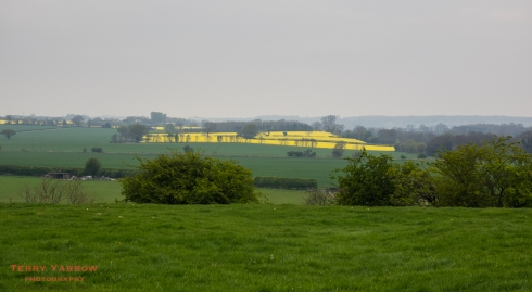 A rape field shines out of mist and rain!
