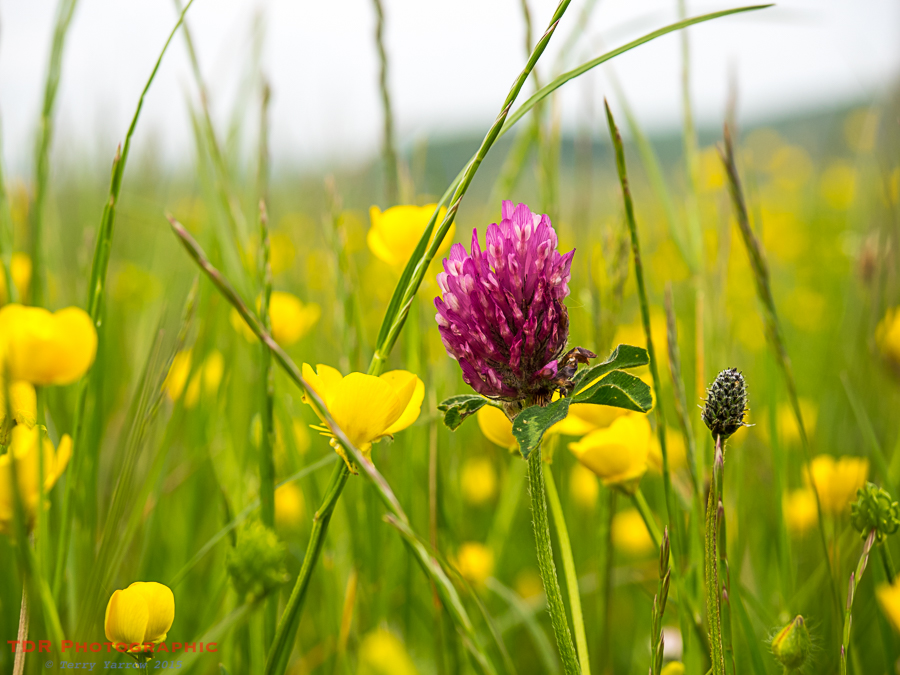 Red Clover and Buttercups