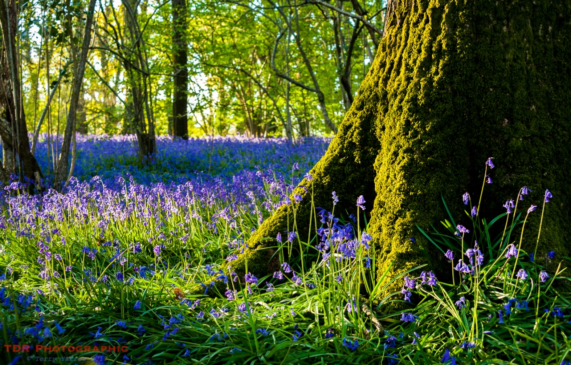 In the Bluebell Woods
