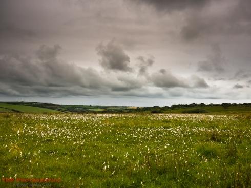 Cotton Grass on Bursdon Moor