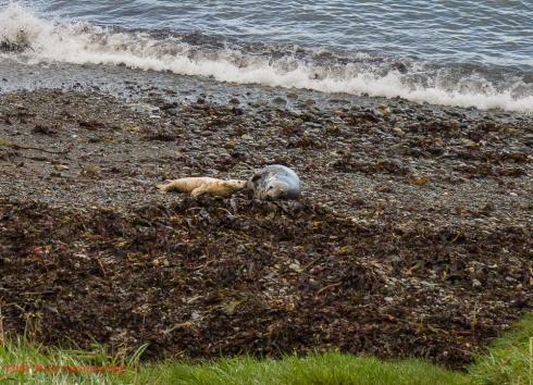 Seals at Porthsychan