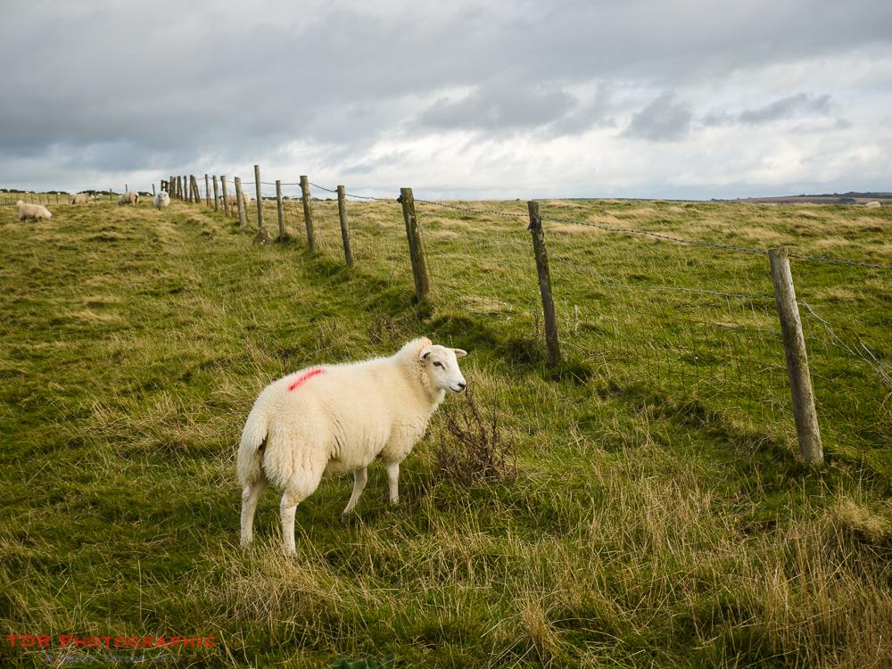Clean Sheep