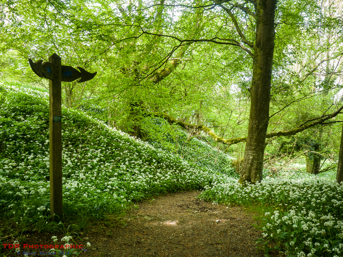 Ramsons in the Woods