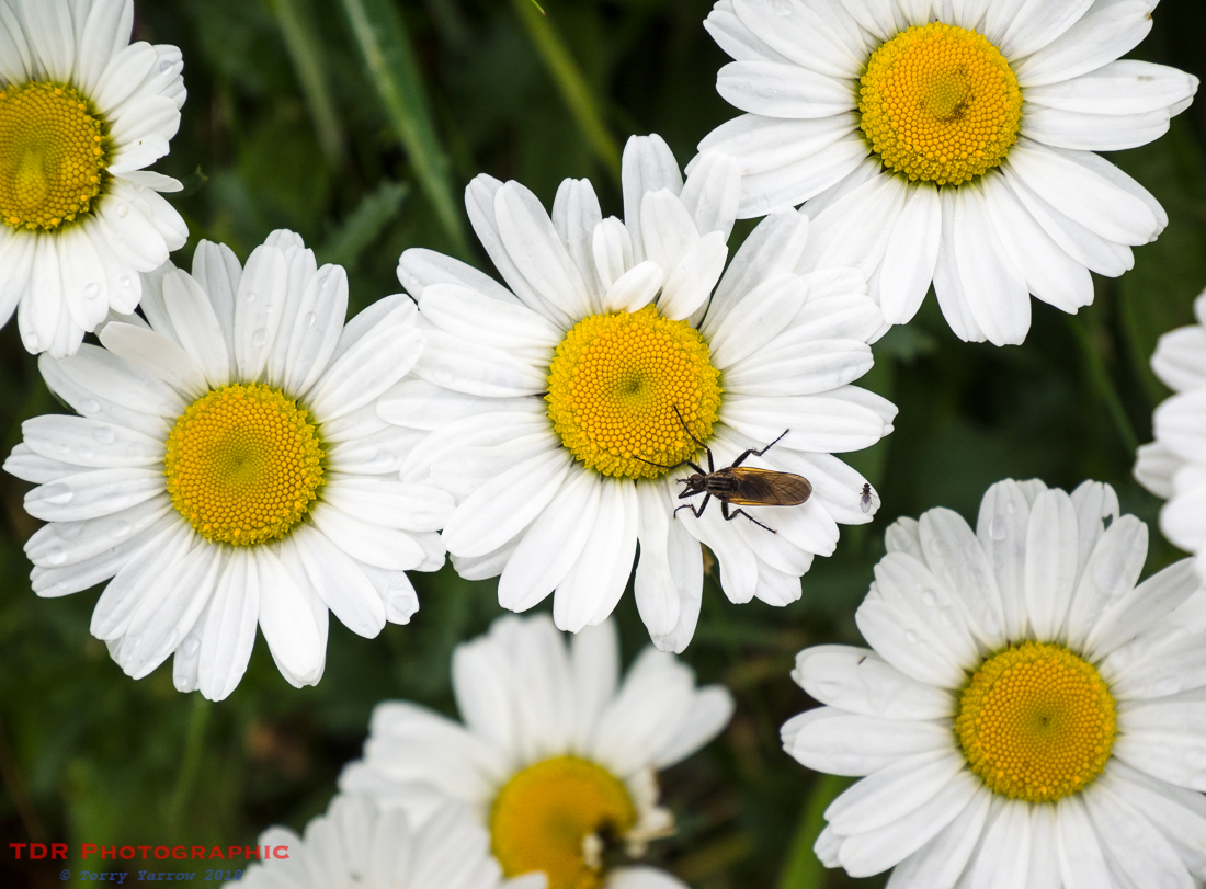 Bug and Daisies