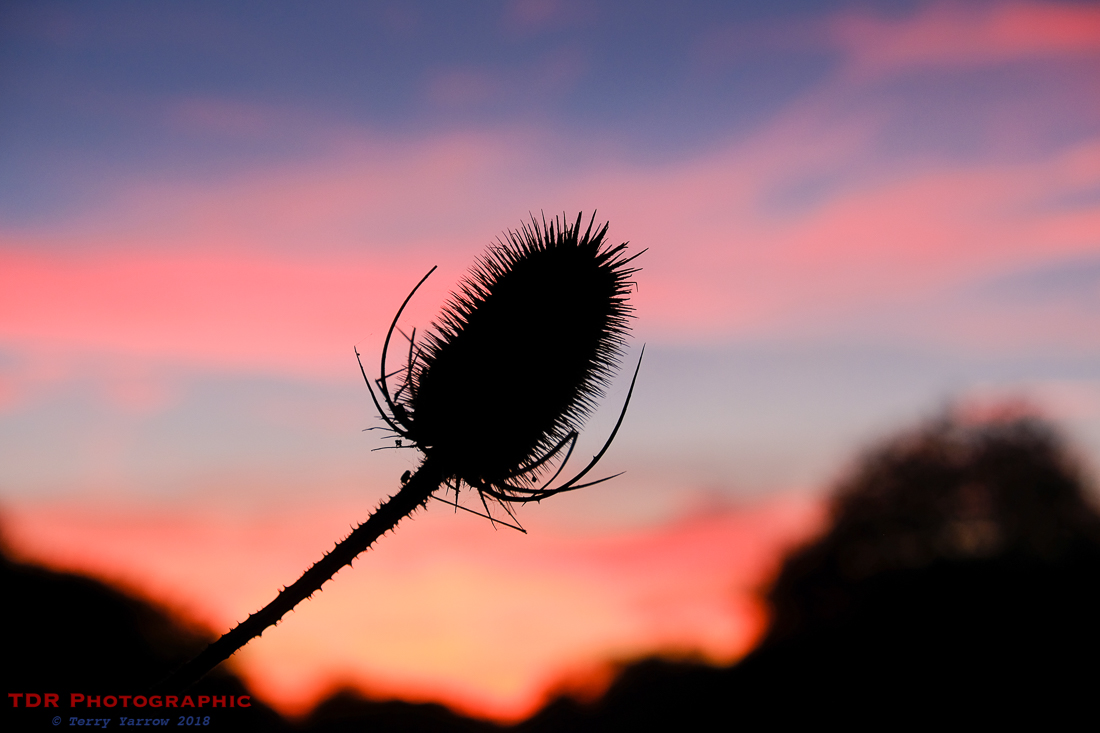 Thistle in the Sunset