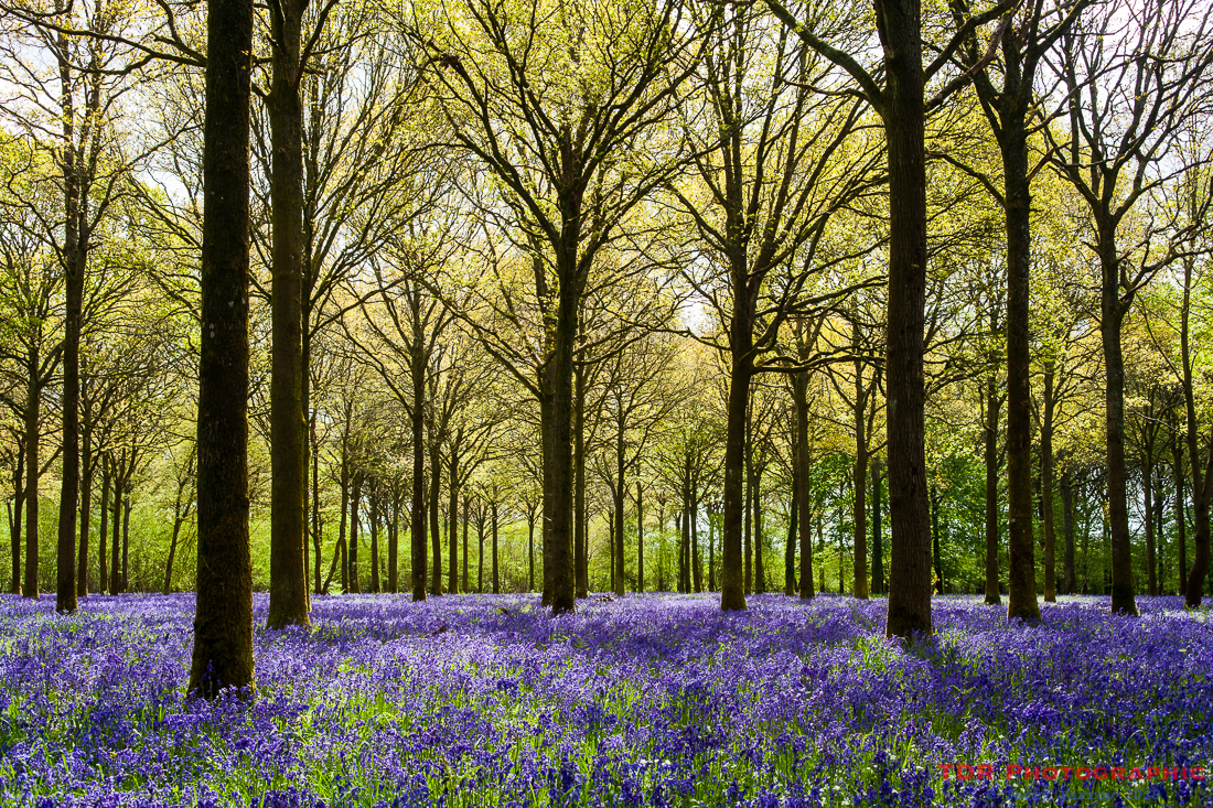 BIn the Bluebell Woods