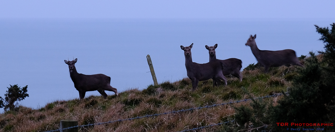 Deer on the Coast