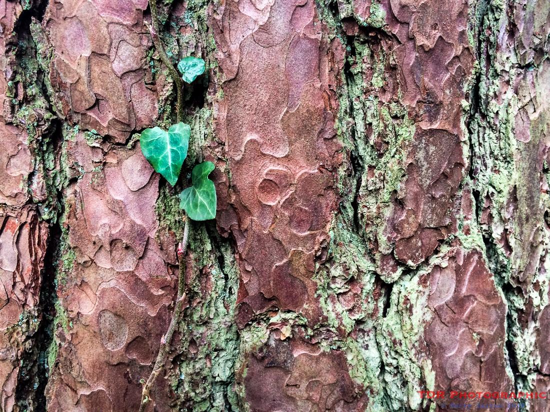 Bark, Lichen, Ivy