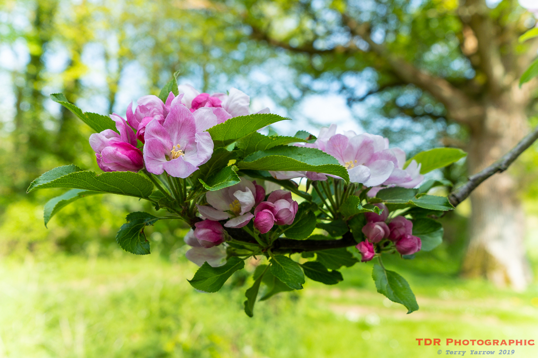 In Apple Blossom Time