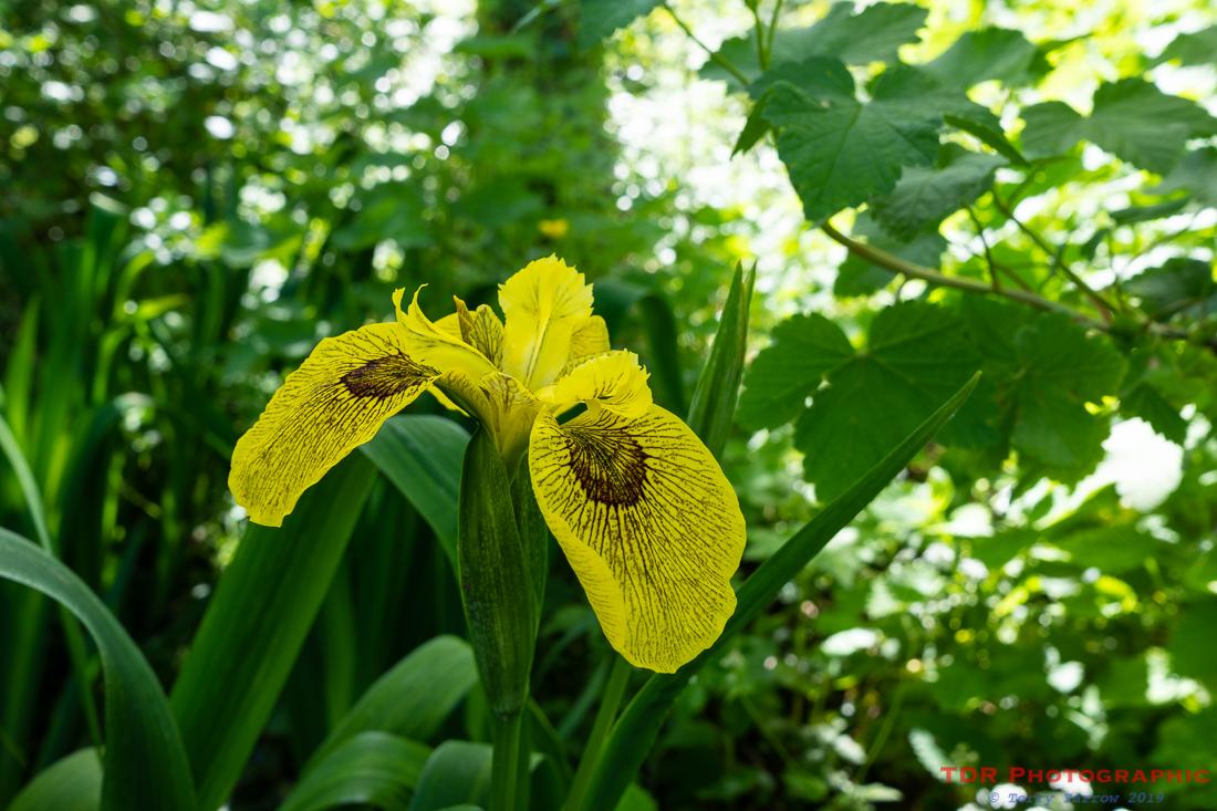 Berlin Tiger Iris