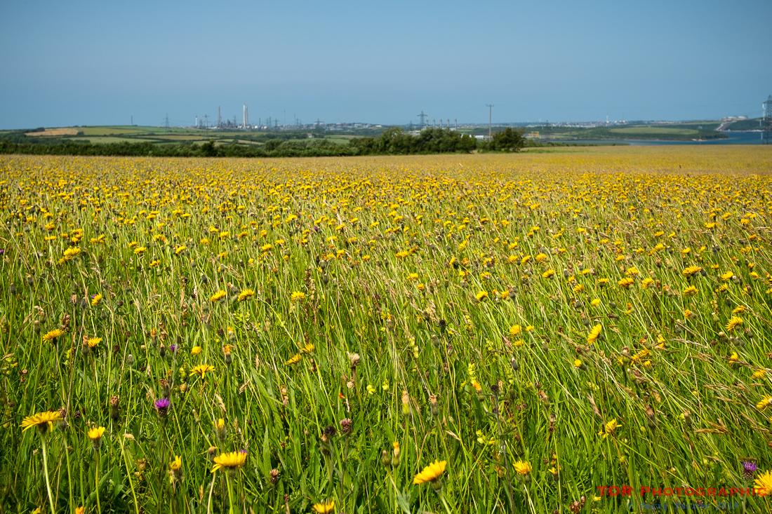 In a Welsh Meadow